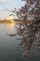Cherry Blossom Peak Bloom Washington DC no-6