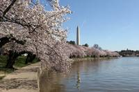 Cherry Blossom Peak Bloom Washington DC no-9