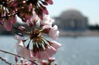 Cherry Blossom Peak Bloom Washington DC no-17