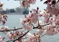 Cherry Blossom Peak Bloom Washington DC no-20