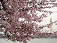Cherry Blossom Peak Bloom Washington DC no-26