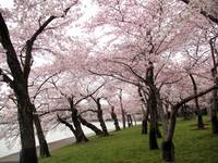 Cherry Blossom Peak Bloom Washington DC no-29