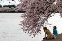 Cherry Blossom Peak Bloom Washington DC no-34