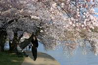 Cherry Blossom Peak Bloom Washington DC no-42