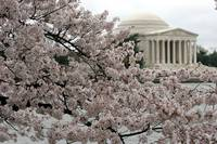 Cherry Blossom Peak Bloom Washington DC no-43