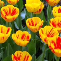 Yellow and Red Tulips Upclose Art Prints & Posters by Nathan Fleming
