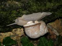 Upside-down Snail