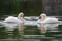 Swan's Courtship
