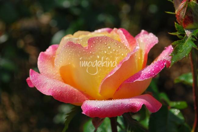 multi color rose after rain