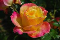 yello and pink rose with raindrops