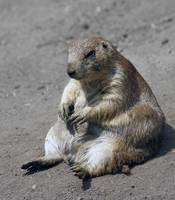 Jabba, the Prairie Dog