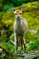 young sika deer fawn (lat. Cervus nippon)