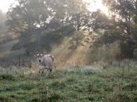 Cow at Dawn