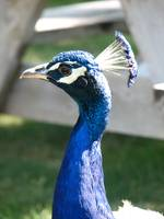 Friendly Peacock