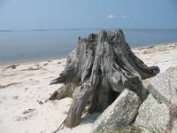Stump by the Sound