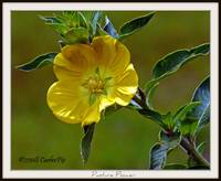 Yellow wildflower  (Primrose Willow)