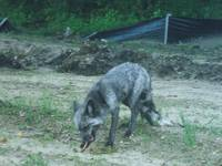 Silver Fox Chewing a Bone