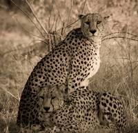 Cheeta Coalition