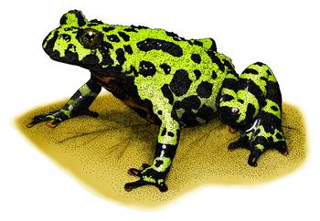 Fire-Bellied Toad by artist Roger Hall. Giclee prints, art prints, animal art, frog art, Bombina orientalis; from an original pen and ink drawing