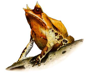 Malayan Horned Frog by artist Roger Hall. Giclee prints, art prints, animal art, frog art, Megophrys montana; from an original pen and ink drawing