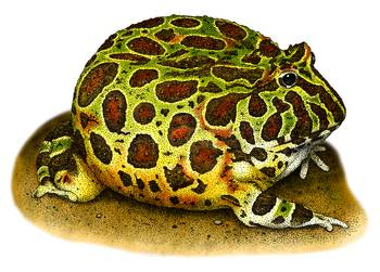 Ornate Horned Frog by artist Roger Hall. Giclee prints, art prints, animal art, frog art, Ceratophrys ornata; from an original pen and ink drawing