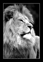 Arrogant male lion