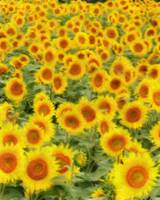 Sunflowers 1620-300