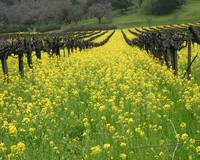 Mustard in a Napa Valley Vineyard