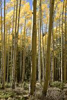 Turning Aspens