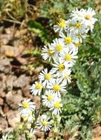 Wild White Aster - Arizona Wildflower