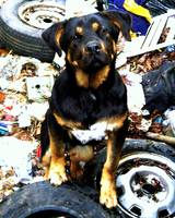 DOG_Junkyard Dog