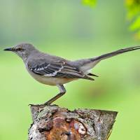 """Northern Mockingbird"" by tricia"