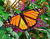 Monarch Butterfly I