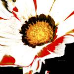 white-red-flower Prints & Posters