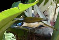 bird honeyeater blue faced