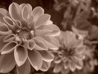 flower in sepia