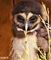 Asian Brown Owl