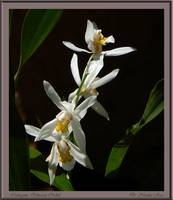 Coelogyne orchracea Orchid