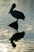 ╩The Ultimate pelican silhouette reflection shot╩