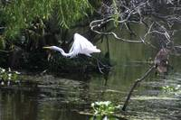 Egret in the New Orleans Bayou