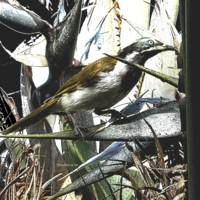 bird-honeyeater-2