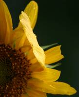 The Sunflower Series  #6