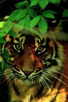 Chandra the Sumatran Tiger