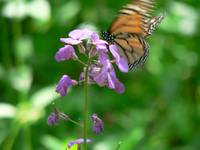 Monarch on Phlox