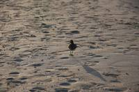 little bird walking in the beach