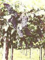 Villa Giona Grapes Chalk