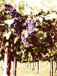 Villa giona Grapes Soft Posters