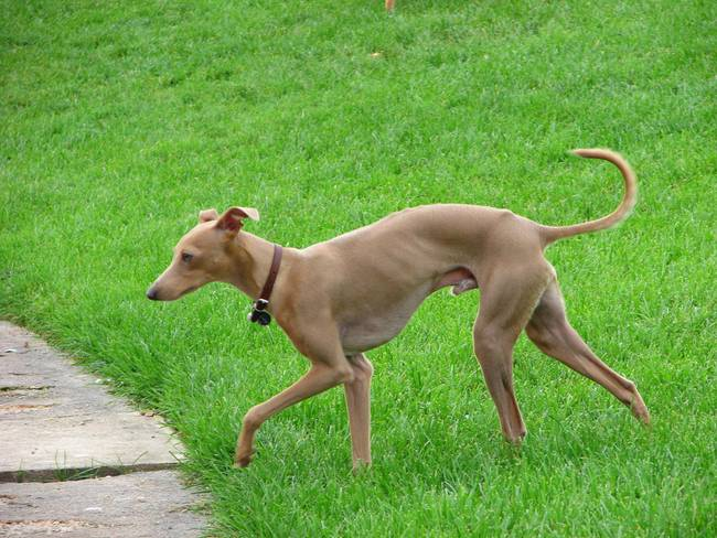 French Greyhound