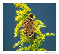 Buckeye on Goldenrod...
