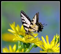 Eastern Tiger Swallowtail on Rosinweed...